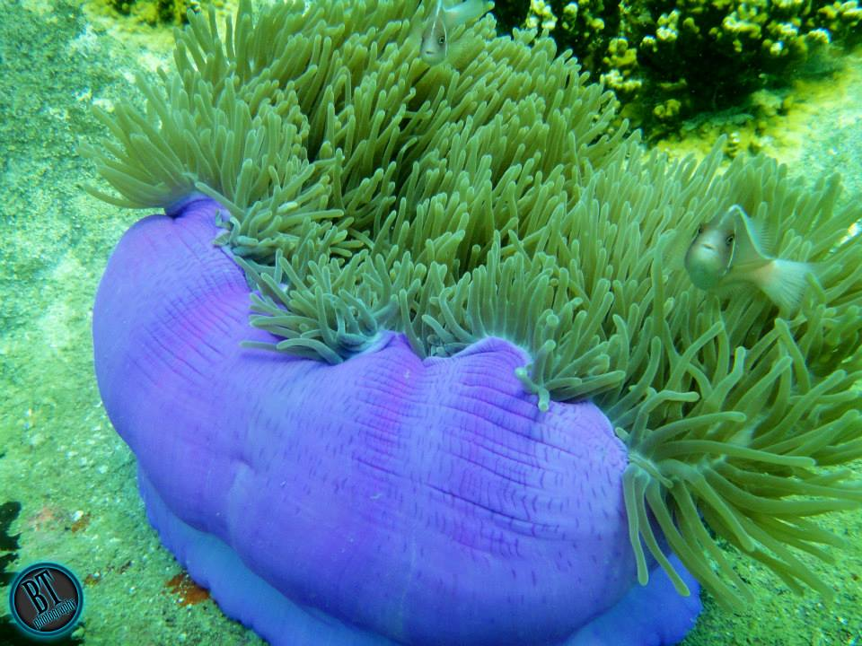 Soft coral in purple