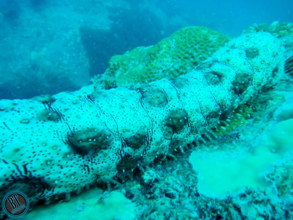Sea cucumber in Pulau Jahat Tioman