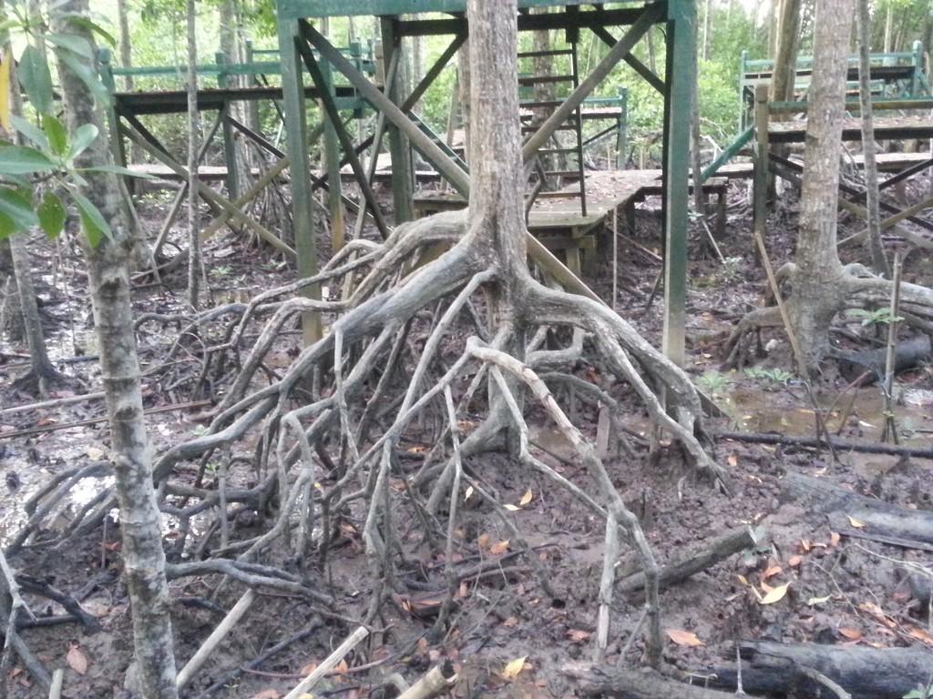 Mangrove Forest Tanjung Piai