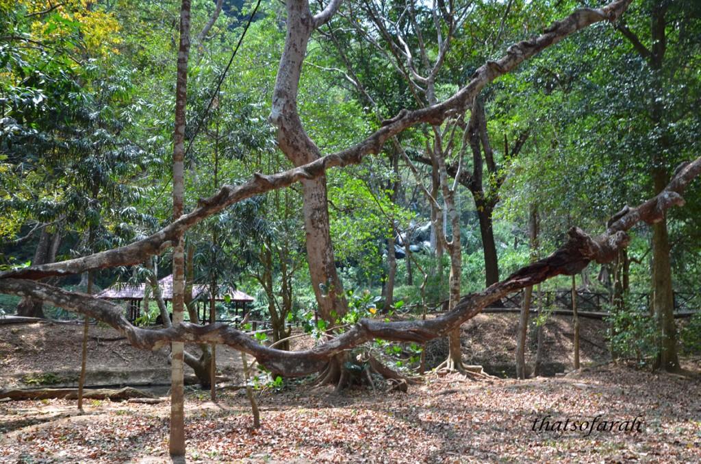 Sintok tree