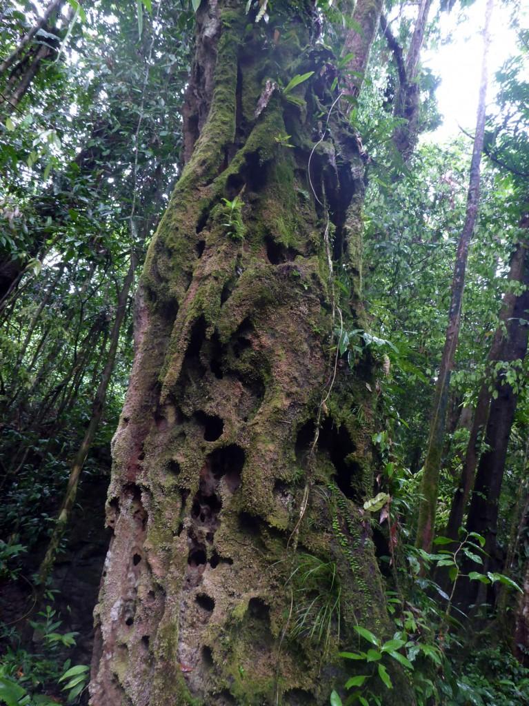 Dead Ironwood Tree