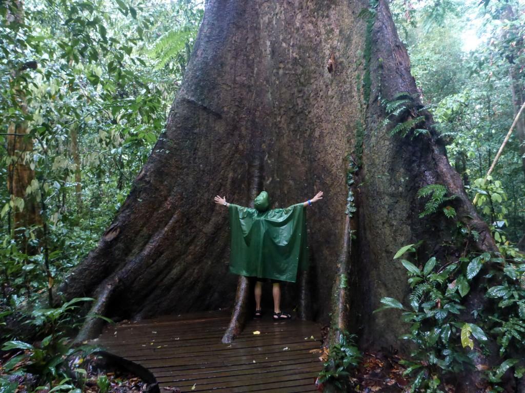 Huge tree trunk in Mulu