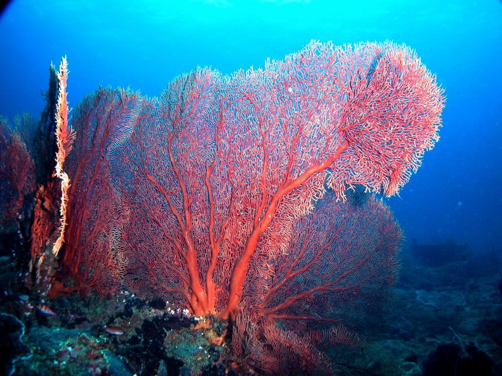 Gorgonian Reef