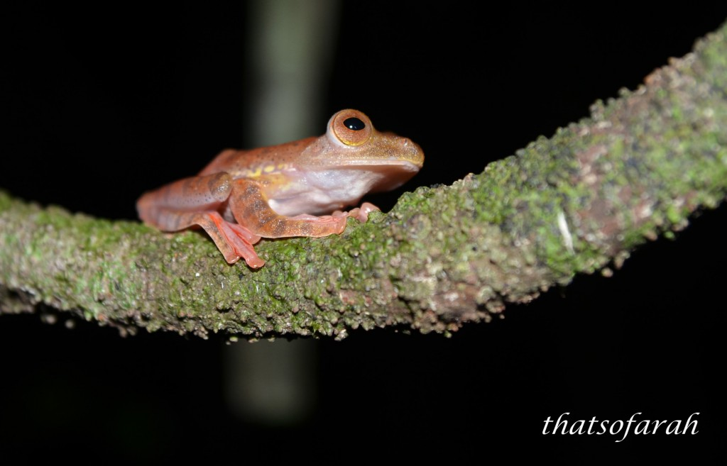Kubah Frog
