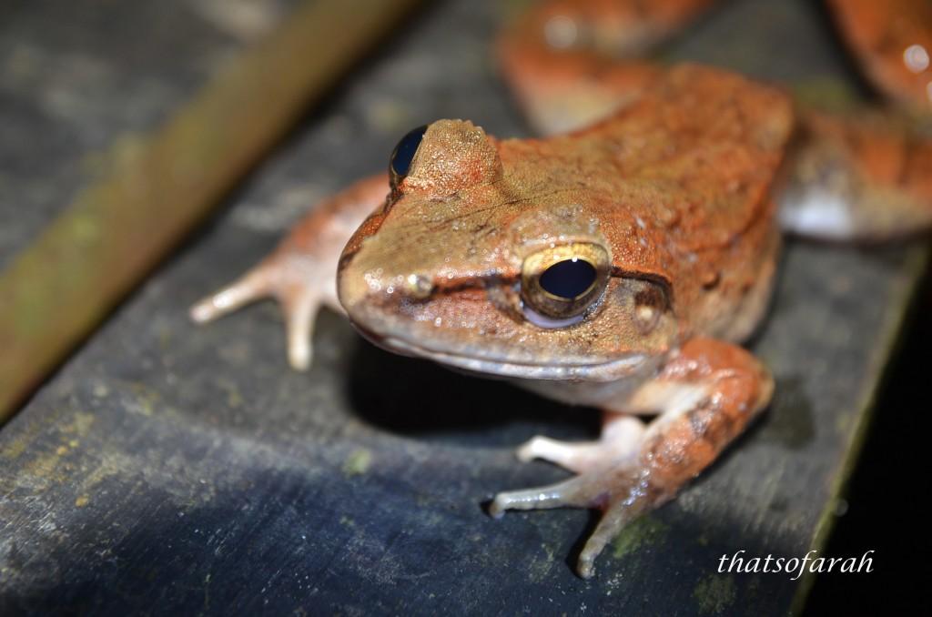 Kubah National Park Frog