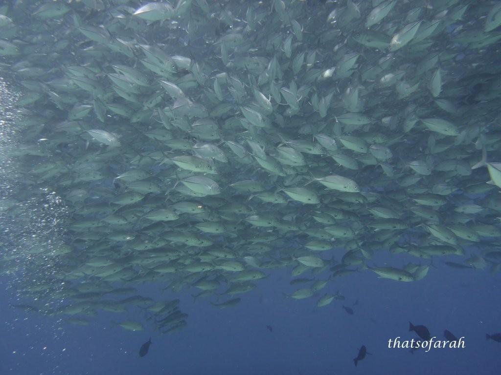 Shoal of Jack Fish
