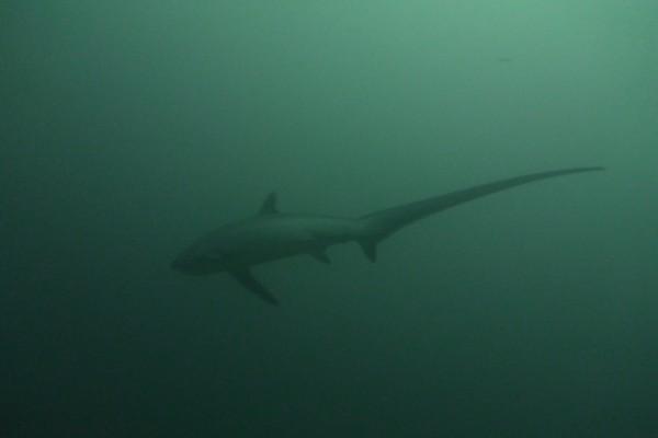Thresher Shark Diving