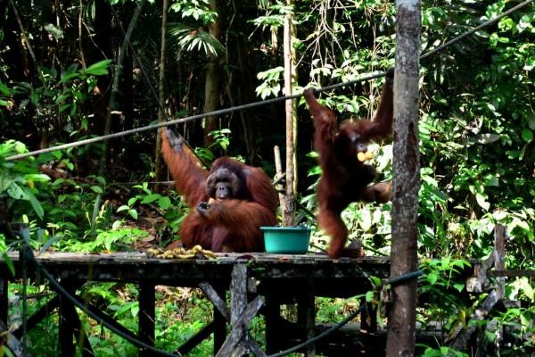Tsdayout Selangor Meets Sarawak : Semenggoh Wildlife Centre