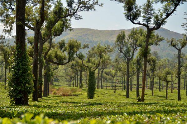Splendid Munnar Tea Plantation