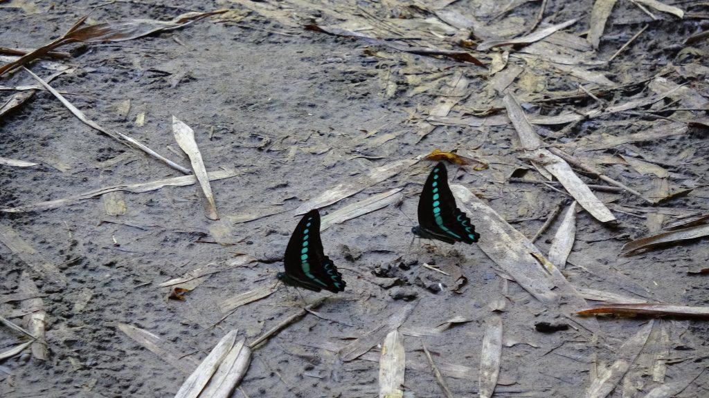 Kingdom of Butterfly