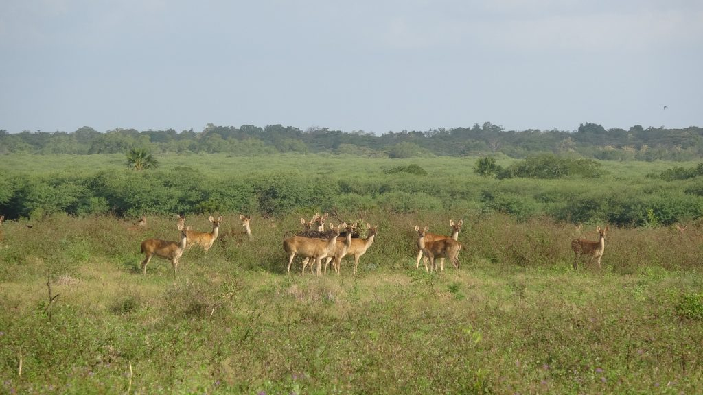 Barking deers at Baluran National Park